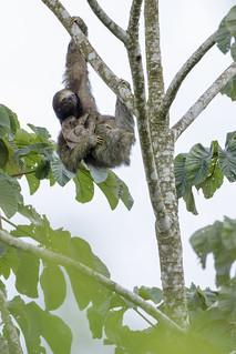 Baby Sloth With Mama Sloth