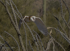 Emergence (slsjourneys) Tags: owl barnowl desert tucson arizona