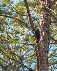 Pileated Woodpecker7 (Dok Johnson) Tags: georgia woodpecker backyards southernpileatedwoodpecker