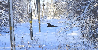 Winter Moose having rest_2018_02_04_0016