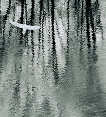 Flying Swan (Edinburgh Photography) Tags: outdoors nature landscape wildlife swan flying water reflections st margarets loch nikon d7000