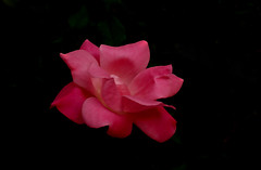 IMGP4033 Rose (tsuping.liu) Tags: outdoor blackbackground bright blooming atmospher abigfave amazing closeup depthoffield darkbackground depth ecology ecotour excellentflower flower feeling flowers field fire golden garden hill image imagination itsallaboutflowers its lighting skyline skylight moment macro mood memory nature naturesfinest natureselegantshots natures nationalpark nationalgeographic organicpatttern plant photographt pattern passion petal painting rose red redblack recalling texture touching theperfectphotographer purity zooming zoomin