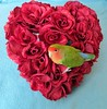 Happy Valentine's Day (bigbrowneyez) Tags: roses roseheart bird uccellino bello uccello happyvalentinesday tribute dedication sweet celebration fun adorable delightful delight precious tiny mypeachfacedlovebird miouccellino colourful colours bright bold asplashofcolour memories love adoration dolce amore amour flickrsweet fabulous amazing striking stunning beautiful nature natura wings feathers soft delicate
