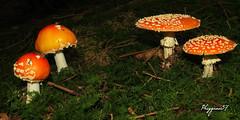 amanite tue-mouches ... (Phrygane57) Tags: champignons forêt sapinière rouge verdure sousbois mousse