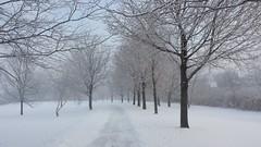 The Trail - January (Sofeha) Tags: snowstorm tree grass trail winterstorm snow snowfalling snowflake snowing winter
