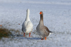 Fâchées ? (gerardcarron) Tags: 18135 animaux canon80d hiver nature neige savoie snow winter oies