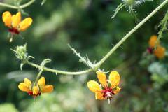 La pequeña amarilla (Caitlin Sea Jones) Tags: flower flor fleur small little petite pequeño yellow amarillo nature naturaleza wild silvestre green verde details detalles