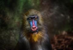 A young mandrill (ramerk_de) Tags: mandrill ape hamburg hagenbeck zoo primates