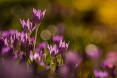 Crocus Focus and a little Hocus Pocus (Peter Quinn1) Tags: crocus garden bokeh spring springflowers sheffield