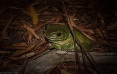 Litoria caerulea (dustaway) Tags: tullera northernrivers nature nsw australia amphibia anura hylidae litoria greentreefrog australianfrogs