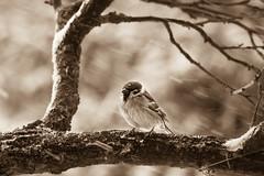 A hard day in bird's life (Inka56) Tags: hmbt 7dwf bwandsepia bokeh monochromebokeh sepia monochrome bird sparrow tree branches snow winter throughherlens