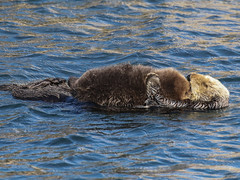 Sea Otters, Enhydra lutris (bruce_aird) Tags: