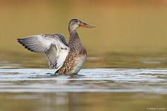 Northern Shoveler (anthonylouviere) Tags: waterfowl duck wildlife northernshoveler