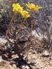 Succulent along the R 62 en route to Calitzdorp (Proteus_XYZ) Tags: southafrica südafrika westerncape kleinkaroo r62 calitzdorp succulent crassulaceae tylecodon