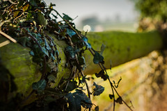 54/365 - HFF : ) (EYeardley) Tags: fence fencedfriday fencefriday itsfriday ivy nature shallowdof dof bokeh nikon nikonphotography nikond3300 d3300 50mm nikon50mm 365 365challenge day54 23rdfebruary2018