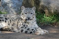 Relaxing Cub (greekgal.esm) Tags: snowleopard pantherauncia leopard bigcat cat feline animal mammal carnivore meru losangeleszoo cub babyanimal lazoo losangeles griffithpark sony rx10m3 rx10iii