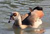 Egyptian goose (Alopochen aegyptiaca) (im2fast4u2c) Tags: egyptian goose alopochen aegyptiaca