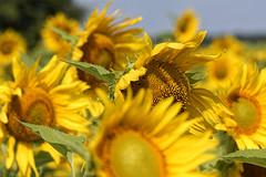 Sunflowers (Marat Assanov) Tags: sunflowers summer ukraine field kaniv flowers yellow