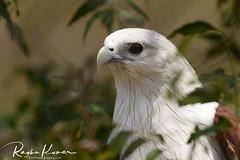 Anna Zoological Park, India (rvk82) Tags: 2018 annazoologicalpark birds chennai february february2018 india nikkor200500mm nikon nikond850 rvk rvkphotography raghukumar raghukumarphotography southindia tamilnadu vandalur wildlife rvkonlinecom rvkphotographycom in