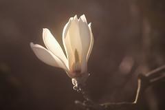 capteur de lumière (christophe.laigle) Tags: bokeh christophelaigle fleur macro nature flower fuji xpro2 xf60mm magnolia