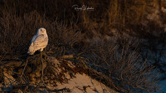 Snowy Owls of New Jersey | 2018 - 19 (RGL_Photography) Tags: beachowl birding birds birdsofprey birdwatching buboscandiacus gardenstate jerseyshore mothernature nature newjersey nikonafs600mmf4gedvr nikond500 oceancounty ornithology owls raptors snowyowl us unitedstates wildlife wildlifephotography