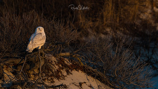 Snowy Owls of New Jersey | 2018 - 19