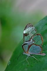 Gossamer Winged Butterfly (Ellsasha) Tags: butterfly butterflies gossamer wings greens delicate tranparent houstonmuseumofnaturalscience ethereal magical