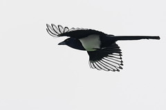 Pie_A659802_DxO (jackez2010) Tags: ilce6500 fe100400mmf4556gmoss bif birdinflight piebavarde