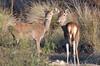 MRC_0549 Young Red Deers /Jóvenes Ciervos en Monfragüe (Obsies) Tags: deer ciervos monfragüe extremadura nikon d500 200400vr