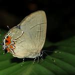 Calycopis cerata thumbnail