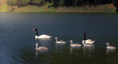 The little family (Faber_32) Tags: swans lagoon water breeding