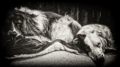 Sad Souls (Missy Jussy) Tags: pets mansbestfriend poorly englishspringer springerspaniel spaniel dogs mollie molliemunch rupert rupertbear portrait animalportrait dogportrait mono monochrome blackwhite bw blackandwhite