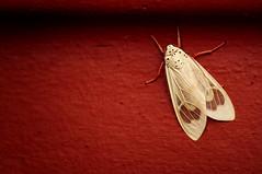 Amerila vitrea (JossieK) Tags: moth whitemoth redlegs african southafrica wings transparent amerila pelochytavidua rhodogastriavitrea vitrea plötz redbackground lepidoptera