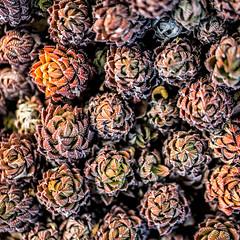 Temptation (Thomas Hawk) Tags: america california huntington huntingtonbotanicalgarden losangeles sanmarino southerncalifornia thehuntington usa unitedstates unitedstatesofamerica botanicalgarden cactus desertgarden fav10