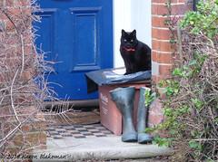 February 1st, 2018 Guardian of the wellies (karenblakeman) Tags: caversham uk cat black blackcat wellingtonboots wellies recyclingbox february 2018 2018pad reading berkshire