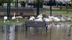 Taken at the flood (Dave_A_2007) Tags: bird nature swan wildlife stratforduponavon warwickshire england