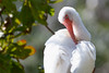 Sunbath (Serena Zilio) Tags: nikon d7100 animals birds bird florida miami usa america sun hot nature life tamron bokeh white close