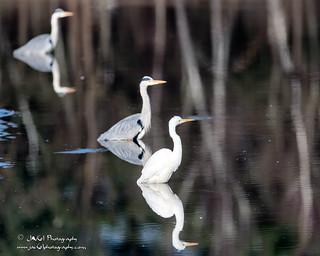 Great Egret-Ardea alba-9081