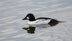 Common goldeneye (stephenlester) Tags: bucephalaclangula commongoldeneye