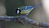 Mallerenga carbonera (José Manuel, thanks for +450,000 views) Tags: mallerengacarbonera parusmajor carbonero greattit aus ocells aves pájaros birds oiseaux utxesa