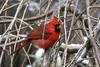 """""""Northern Cardinal"""" """"Cardinalis cardinalis"""" (jackhawk9) Tags: northerncardinal cardinaliscardinalis birds wildlife nature jackhawk9 southjersey newjersey usa canon ngc birdwatcher fantasticnature"""