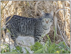 GATO (BLAMANTI) Tags: gatos felinos animales mascotas silvestres canon canonpowershotsx60 blamanti