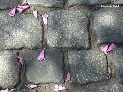 Adoquines & Jacarandá (FernandoTulaFotografia) Tags: flower stone jacaranda flor