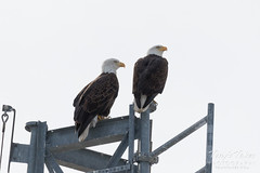 January 28, 2018 - A Bald Eagle pair watches firefighters train at the North Metro Fire training facility. (Tony's Takes)