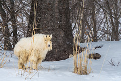 Mountain Goat (Amy Hudechek Photography) Tags: wyoming mountain goat wildlife wild nature winter january amyhudechek nikond500 nikon200500f56