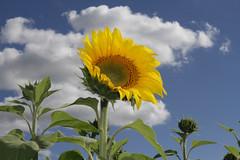 cherriehughesphotographer-8843 (bilateral) Tags: sunsetsymphonyinthesunflowers sunflowers sugarcane celebration music orchestra sakwolo assi australiansouthseaislander agriculture concert farm simonmattsson sugarvsthereef