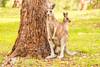 Kangaroos on the Golf Course (Merrillie) Tags: catalinagolfcourse nsw joey eurobadallashire kangaroo catalina furry nature water wildlife australia animals fauna southcoast newsouthwales marsupial