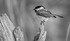 Prime Perch (Wes Iversen) Tags: blackwhite blackcappedchickadee brighton chickadees hmbt kensingtonmetropark michigan milford monochromebokehthursday poecileatricapillus bird birds monochrome nature wildlife