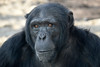 Wakili @ Artis 26-03-2017 (Maxime de Boer) Tags: wakili chimpanzee chimpansee chimp ape aap monkey natura artis magistra zoo amsterdam animals dieren dierentuin gods creation schepping creator schepper genesis