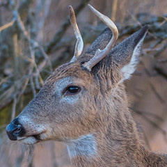 The Buck Stops Here... (ragtops2000) Tags: wildlife deer buck young whitetailed wild winter cold food goldenhour light detail standing pose portrait eye catchlight colorful forest head iowa nikon200400f4 nikond500